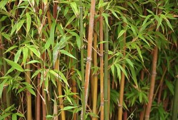 Bamboo canes may be golden, green or even black depending on the cultivar.