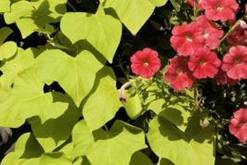 Fertilize ornamental sweet potato vines to encourage growth.