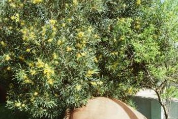 """Arbequina"" olive trees have a mature height of 20 feet with a spread of 12 feet."