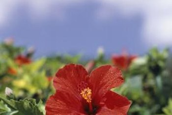 Hibiscus must be pruned regularly to prevent them from getting leggy and out of control.