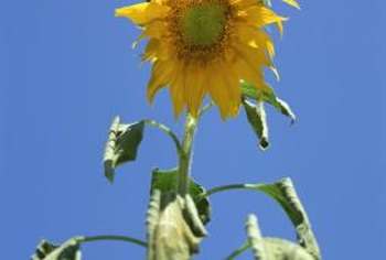Wilting leaves are an early symptom of white mold on sunflowers.
