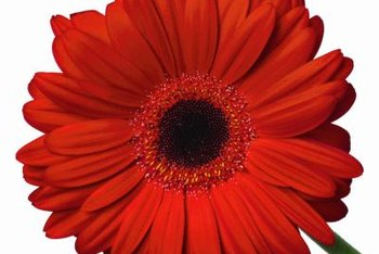 Gerbera daisies are often used as cut flowers.