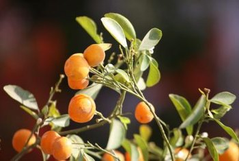 Although evergreen, citrus trees drop and replace leaves.