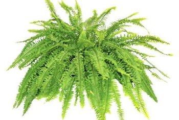 Grow Boston fern in shaded to partially shaded locations.