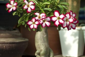 Desert rose has an enlarged basal trunk area, called a caudex.