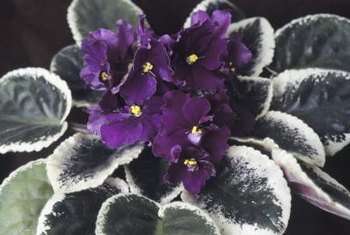 Variegated African violet leaves help highlight the color of the flowers.