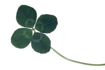 The search for a four-leaf clover is a rite of passage for many children.