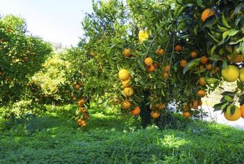Orange trees are evergreen and the fruits ripen in late winter.