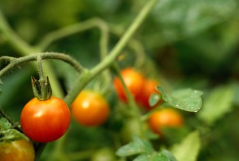 Smaller varieties of tomatoes are ready to harvest earlier than full-size tomatoes.