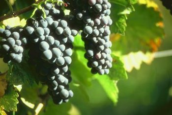 Pesticides and miticides are used to prevent and treat pests that attack grape vines.