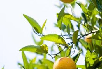 Citrus flowers and fruits add fragrance and color to the yard.
