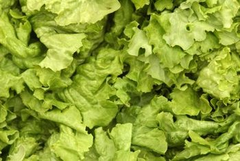 One seed package will plant a 100-foot row of leaf lettuce, yielding about 50 pounds.