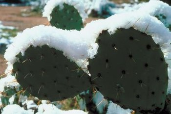 Many cactuses survive snowy winters in the high deserts.