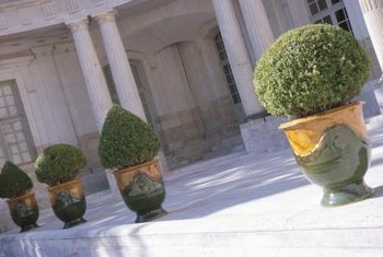 Boxwoods can be kept small enough to work well with your interior decor.