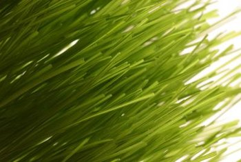 Ryegrass is a cool-weather grass for green winter lawns.