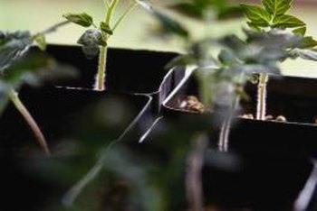 Tomato seedlings thrive when placed close to the lights.
