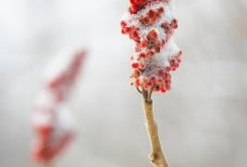 Staghorn sumac fruit is favored by many birds.