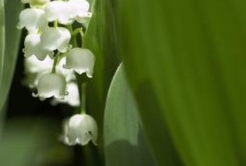 Lily of the valley plants produce small white flowers and broad green leaves.