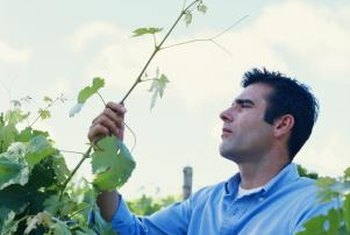 Backyard gardeners can improve grape vines by grafting them.