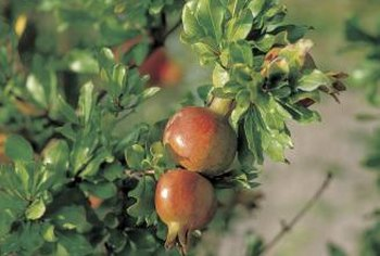 Pomegranate trees naturally produce many suckers.