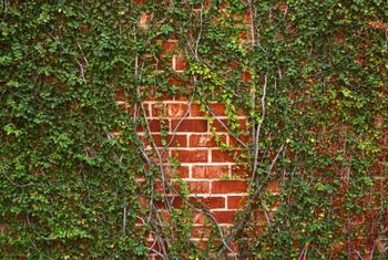 Planting vines softens and enhances a brick wall.