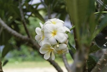 Plumeria trees bloom in a variety of different colors.
