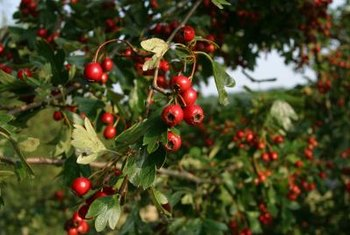 Hollyleaf cherry shrubs grow 25 feet tall in their native environment.
