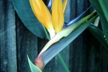 Bird of paradise flowers resemble exotic birds with spread wings.