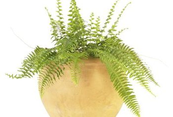 Boston ferns are often grown in containers.