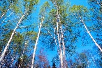 Birch trees can grow to over 70 feet tall.