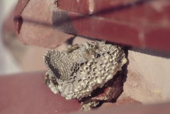Paper wasps often attach nests near ceilings and under eaves.