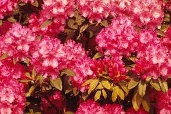 Rhododendrons liven up dark gardens with their bright displays of blooms.