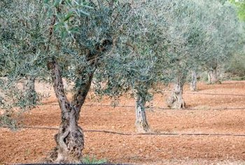 Plant olive trees closer together if using hand cultivation methods, farther apart if you tend to them with machinery.