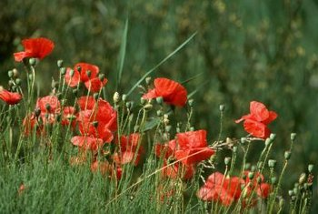 Poppies are legal to grow in the United States, except for papaver somniferum.