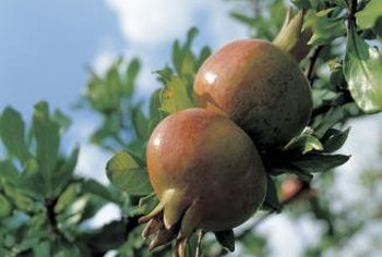 Pomegranate trees need ample water to support a fruit crop.