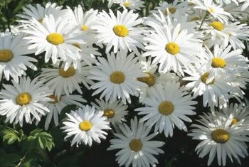 Daisies fill a flower bed quickly.