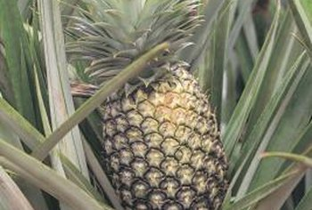 Pineapples grow on a stalk in the center of the mature plant.