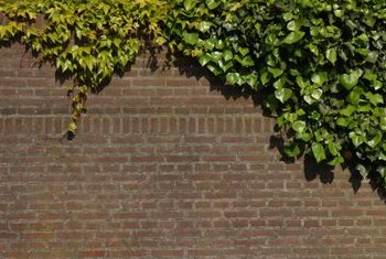 Healthy English ivy can grow to over 100 feet long.
