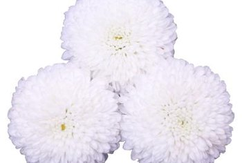 Chrysanthemum flowers are classified by their petal arrangements