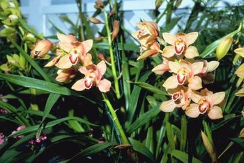 Cymbidium orchids come in a variety of colors including brown, green, orange, pink, red, white and yellow.