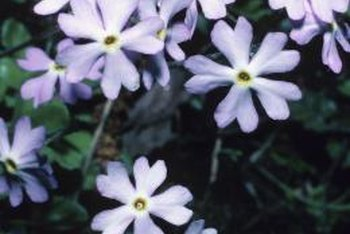 Phlox flowers are perennials that grow from seeds.