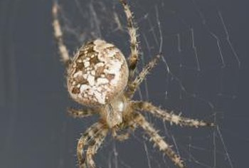 Spiders are not insects, they are arachnids with eight legs.