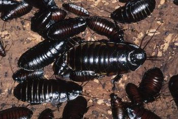 Immature cockroaches are smaller than adults and don't have wings.