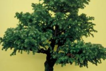 Japanese cedar trees are also used for bonsai.