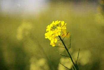Also a member of the Brassicaceae family, a mustard bloom is a smaller version of the wallflower.