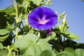 Morning glories flower profusely and self-seed readily.