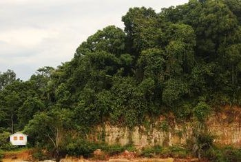 The Cumaru tree grows naturally in rain forests and is also cultivated for its vanilla-scented seeds.