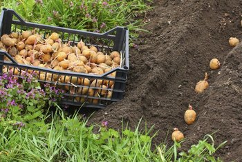 One pound of seed potatoes may produce 25 pounds of tubers by harvest time.