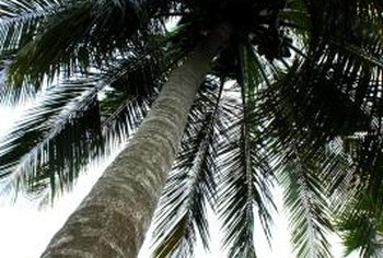 There are more than 1,500 different species of palm tree, including the coconut tree.