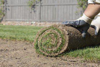 When laying sod, lightly water the grass and the lawn soil to prevent the roots from drying out.